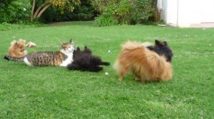 Cat vs. Pomeranian Puppies