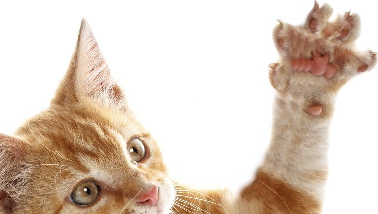 A small orange and white kitten shows it's fully stretched out paw with claws out.