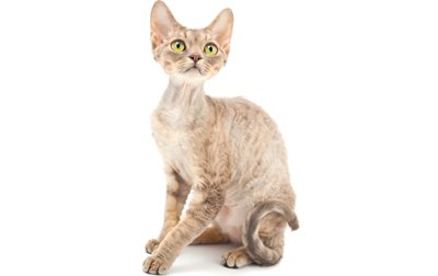 devon-rex-cat-breed