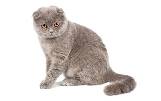 scottish-fold-cat-breed