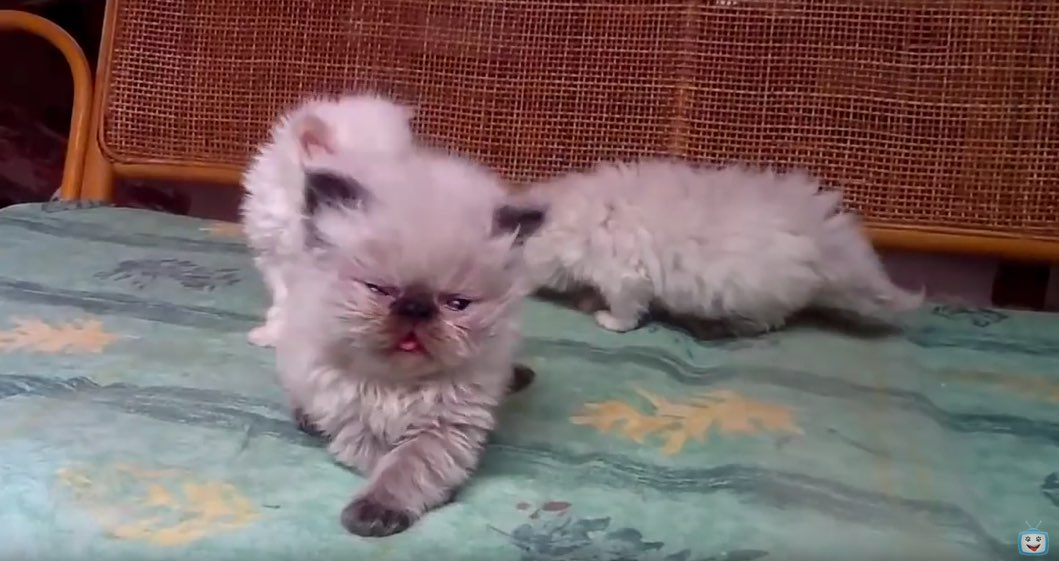 smushed face cat breed