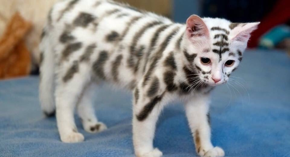 Semi-Feral Cats With Rare Moscow Mutation - CatTime