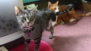 Three-Legged Cat Named Shamrock Finds A Forever Home