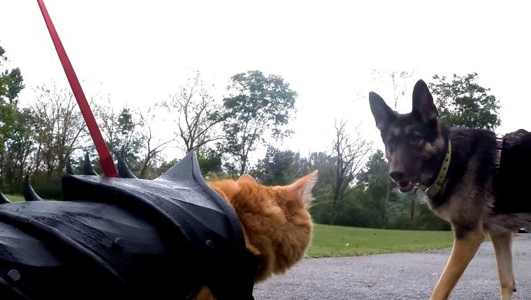 Bobo the cat approaches a German Shepherd in his battle armor.