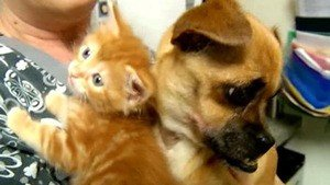 Chihuahua Cares For Orphaned Kittens