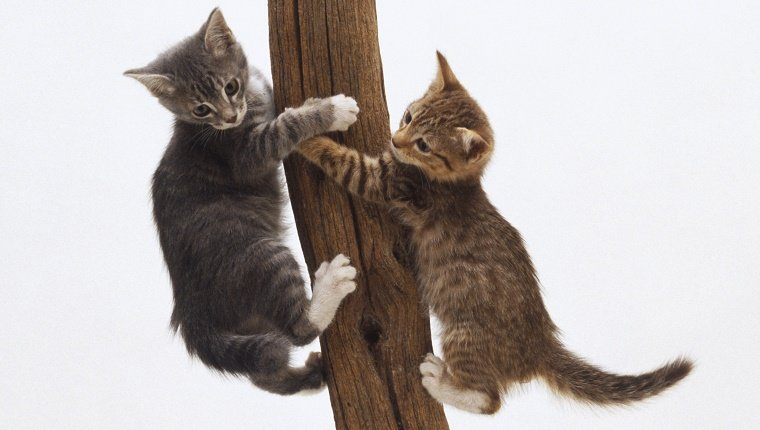 Two kittens (Felis sylvestris catus) clinging to opposite sides of a tree