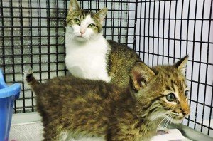 Bobcat Kitten Adopted By Mama Cat Grows Up Happy And Healthy