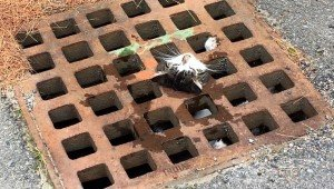 Firefighters Save Cat Stuck With Neck Wedged In Sewer Grate