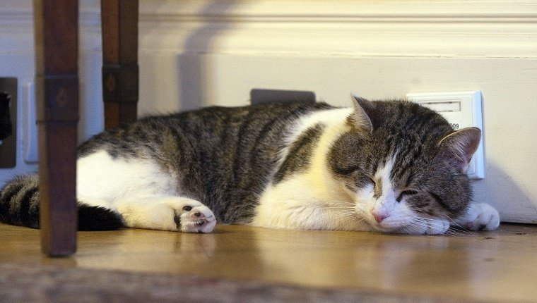 Larry the Cat naps at No. 10 Downing Street in London on February 15, 2011 after arriving from Battersea Dogs and Cats home. British Prime Minister David Cameron has unveiled the latest member of his team -- a cat, who it is hoped will dispense with a rat spotted scuttling past the famous door of Number 10 Downing Street in recent weeks. Downing Street cats have a proud history, with some joining the state payroll and enjoying the honorary title of Chief Mouser to the Cabinet Office. AFP PHOTO / POOL / MARK LARGE (Photo credit should read MARK LARGE/AFP/Getty Images)