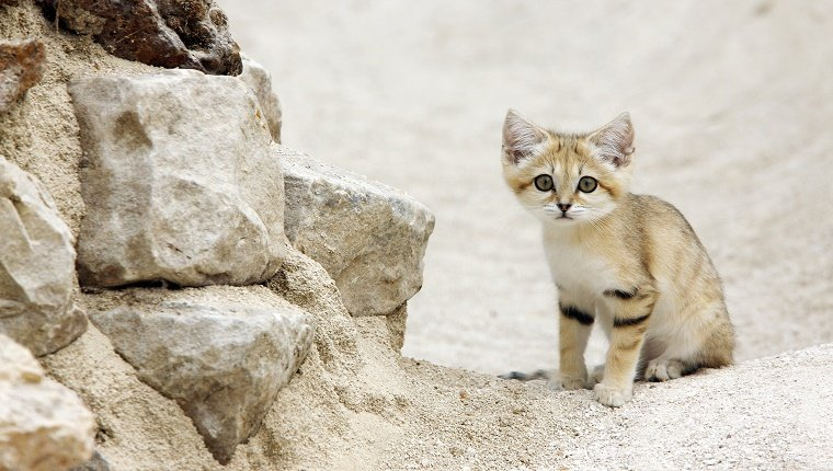Sand cat sits next to rocks