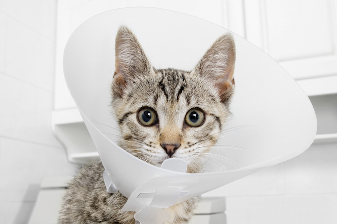 Cat wearing a protective collar