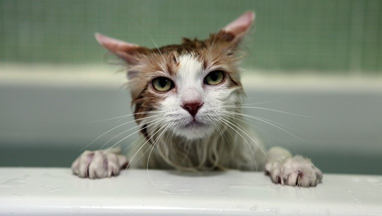 Cats are often unhappy getting a bath. This white long-hair cat waits to be finished with her bath, sitting in the white tub with a green tile-background.