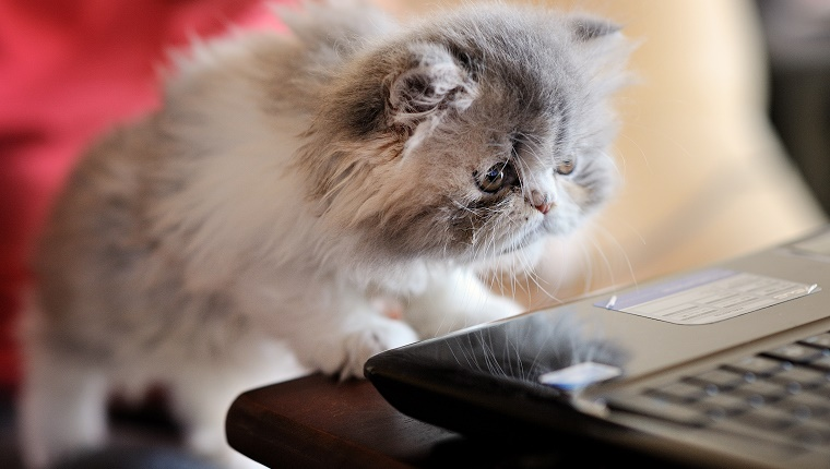 Cat looking at laptop
