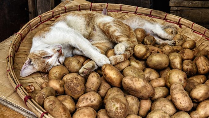 Adorable cat sleeping in a basket of fresh new potatoes
