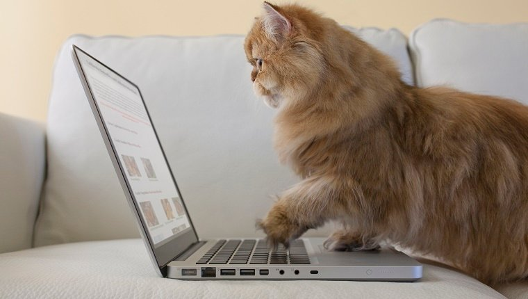 Persian Cat using laptop computer