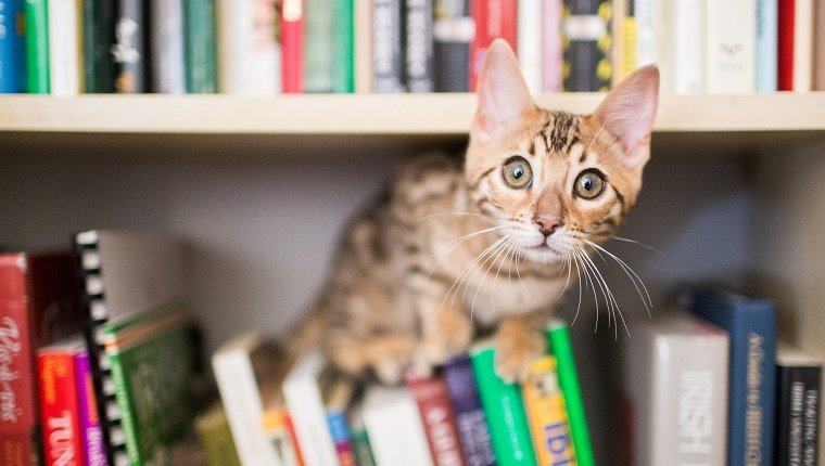 A curious Bengal kitten sits on books on a bookshelf and looks curiously at the camera indoors.