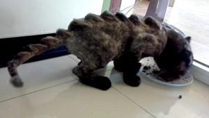 Dinosaur Cats Are A New Internet Trend, But Should You Shave A Cat?