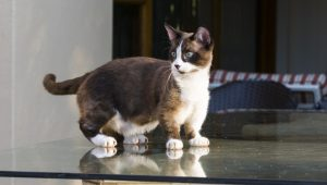 Munchkin Cat Trend: Is Breeding Deformity Animal Abuse?