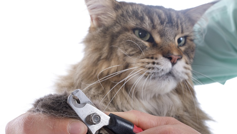 cutting the nails of a maine coon cat on a white background