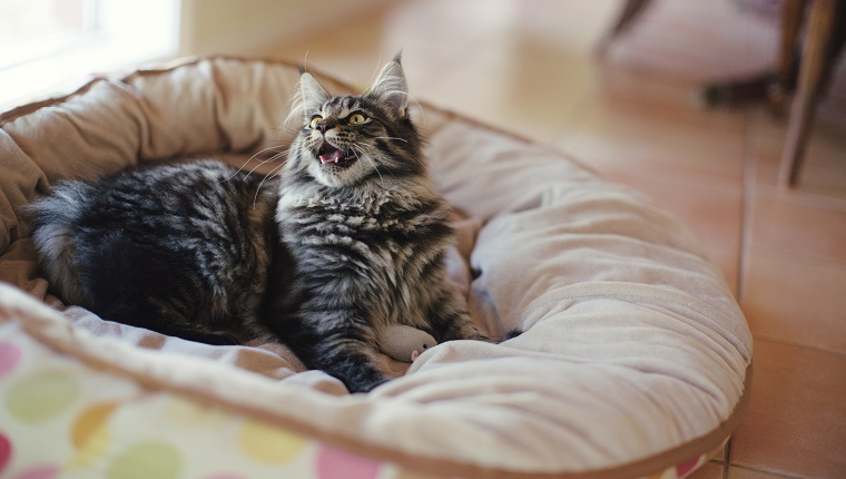 Adorable young Maine Coon cat playing on her cushioned cat bed with her toy mouse.