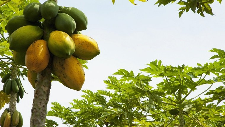 Bunch of papayas on a tree, Valle del Cauca, Colombia