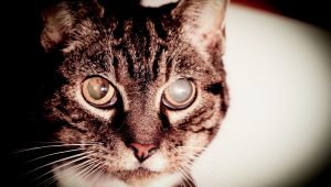 Cataracts In Cats: Symptoms, Causes, And Treatments