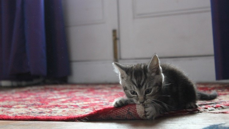 Close-Up Of Kitten Biting Carpet At Home