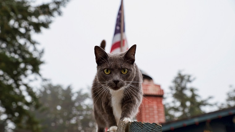 Portrait Of Cat On Railing Against American Flag