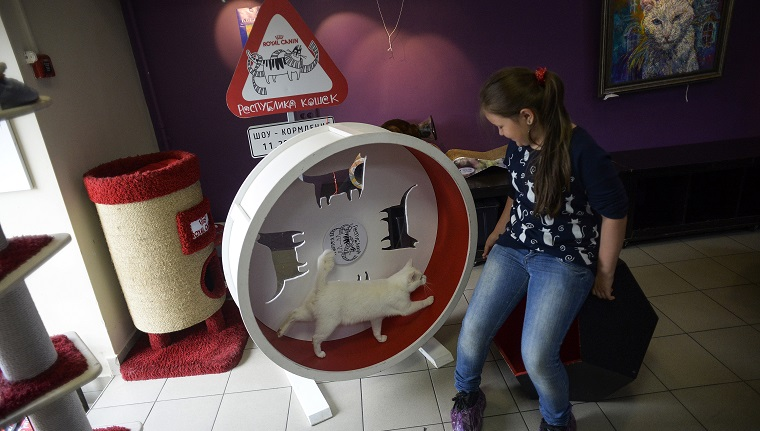 "Achilles the cat, one of the State Hermitage Museum mice hunters, runs in an exercise wheel at the ""Cat Republic"" cafe in Saint Petersburg on June 7, 2018. - A deaf, white cat named Achilles is soon to begin his work as Russia's official soothsayer for the World Cup, following in the tentacle-prints of Paul the Octopus who became a star in 2010."