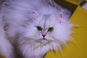 Cat Fancier's Association: What Is The CFA?