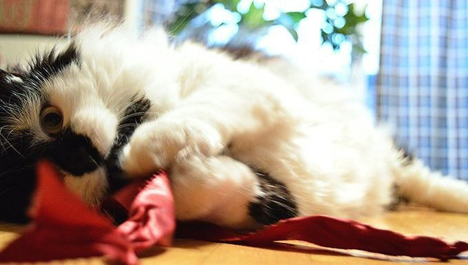 cat chewing ribbon
