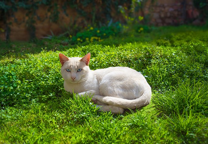 albino cat with blue eyes lying on grass