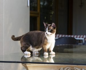 Dwarf Cats: Everything You Need To Know About Feline Dwarfism