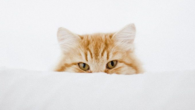 ginger cat sticking ears up