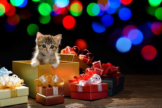 Kitten As A Christmas Present: Good Or Bad Idea? - CatTime