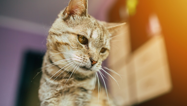 Close up photo of beautiful old cat at home background indoors