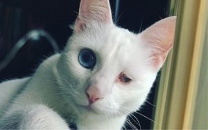 Meet Elsa The One-Eyed Snow Queen Special Needs Cat
