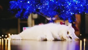 Chag Sameach! 30 Adorable Hanukkah Cats [PICTURES]