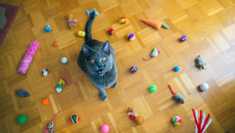 Beautiful Chartreux cat sitting among the group of cat toys on the floor, toys making circle, mouth open