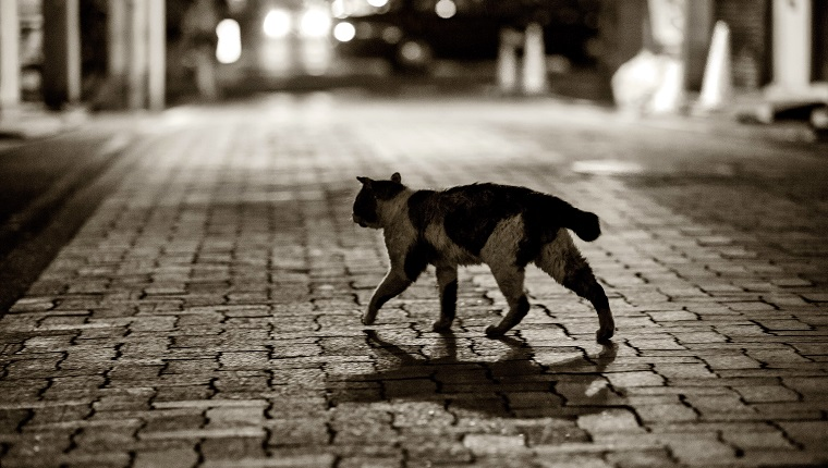 Cat crossing the street in Nogemachi in the night