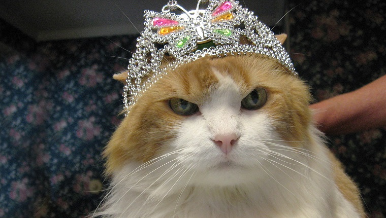 A orange and white long haired cat wearing a diamond tiara. The cat has a very disgruntled and humorous expression, as though he is not pleased.