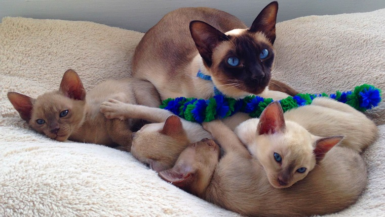 Beautiful blue eyed chocolate point tonkinese cat lying in a cat bed with her four six week old kittens.