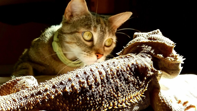 Close-Up Of Cat Looking At Lizard on national hug your cat day