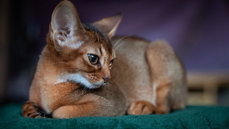 Beautiful Abyssinian kitten lies front view Close-up portrait