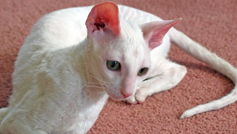 Cornish Rex Cat 1