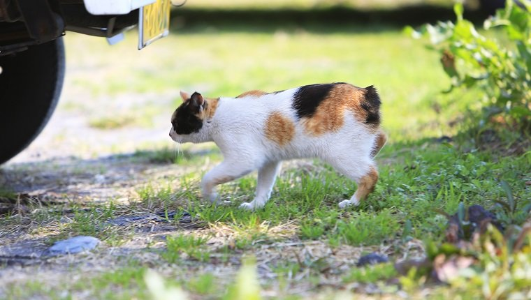 Stray Japanese calico bobtail cat in a park in Kagoshima, Japan.