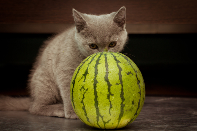 everything you need to know about cats and watermelons cattime