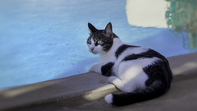 Black and White coloured cat l relaxing near pool. Stock Image.