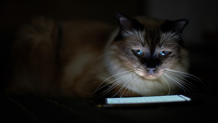 Portrait of Birman Cat illuminated by smartphone