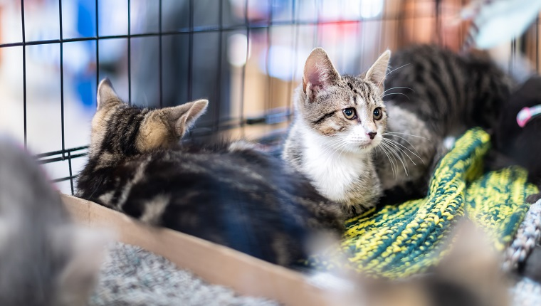 Portrait of sad tabby and white kitten cat looking through cage behind bars waiting for adoption with siblings